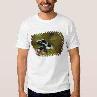 Central PA, USA, Auratus Dart Frog; aka Green Tee Shirts