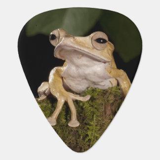 Central PA, USA,. Borneo Eared Frog; Plectrum