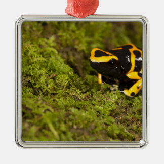 Central PA, USA, Bumble Bee Dart Frog; Christmas Ornament