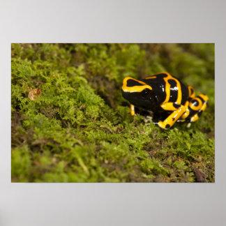 Central PA USA Bumble Bee Dart Frog Print