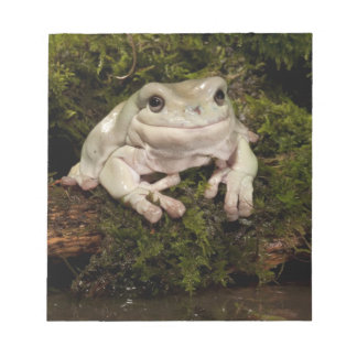 Central PA, USA, White's Treefrog; Litoria Notepad