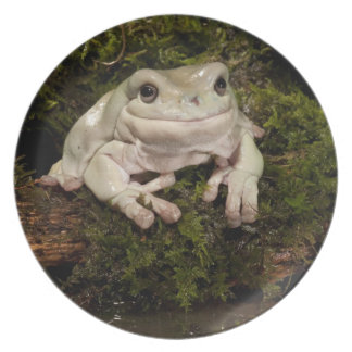 Central PA, USA, White's Treefrog; Litoria Plates