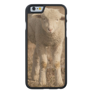 Central Pennsylvania, USA,Domestic sheep, Ovis Carved® Maple iPhone 6 Slim Case