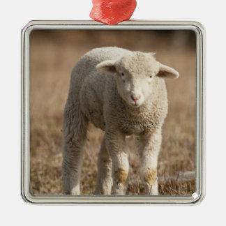 Central Pennsylvania, USA,Domestic sheep, Ovis Christmas Ornament