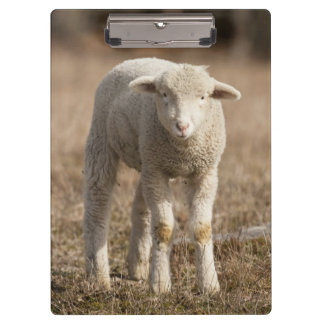 Central Pennsylvania, USA,Domestic sheep, Ovis Clipboard