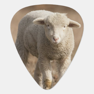 Central Pennsylvania, USA,Domestic sheep, Ovis Guitar Pick