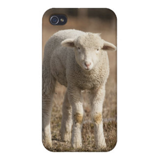 Central Pennsylvania, USA,Domestic sheep, Ovis iPhone 4/4S Covers
