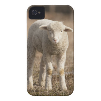 Central Pennsylvania, USA,Domestic sheep, Ovis iPhone 4 Case-Mate Cases