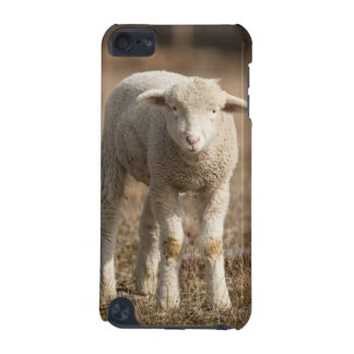 Central Pennsylvania, USA,Domestic sheep, Ovis iPod Touch (5th Generation) Covers