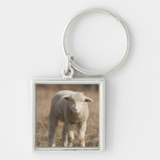 Central Pennsylvania, USA,Domestic sheep, Ovis Key Ring