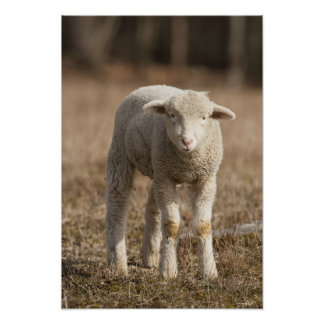 Central Pennsylvania, USA,Domestic sheep, Ovis Poster
