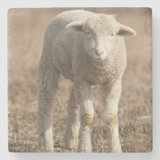 Central Pennsylvania, USA,Domestic sheep, Ovis Stone Beverage Coaster