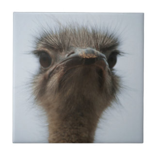 Central South Africa, African Ostrich, Close-up Tile