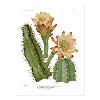 Cerius species postcard
