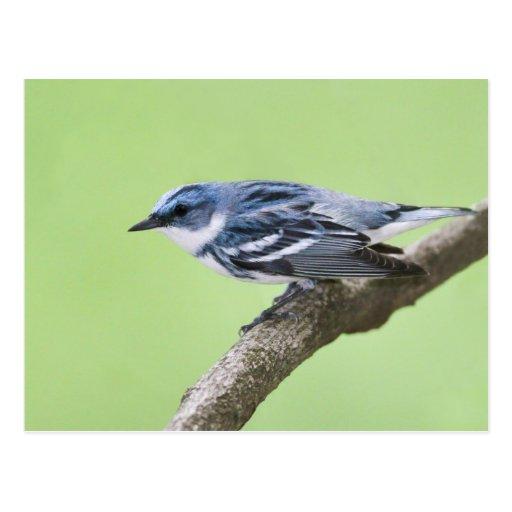 Cerulean Warbler Postcard