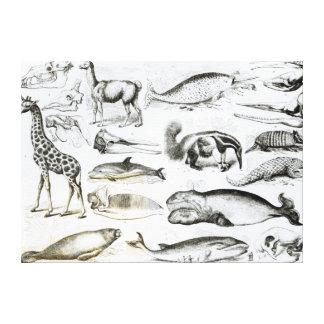 Cetacea Edentata Canvas Print