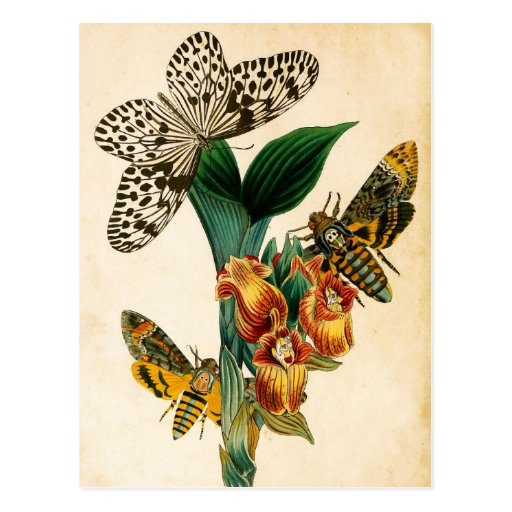 Ceylon Tree Nymph Butterfly & Acherontia Moths Postcards
