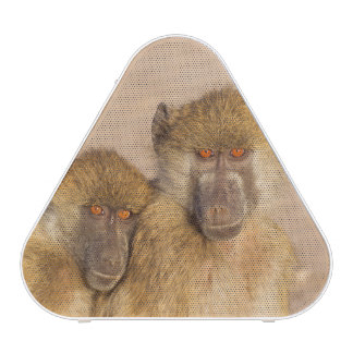 Chacma Baboon, two subadults in the early morning