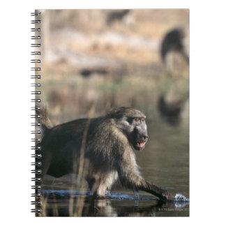 Chacma Baboons (Papio ursinus) walking through Notebook
