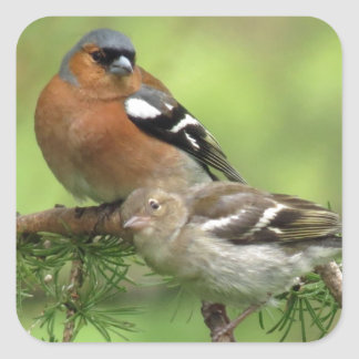 Chaffinch family square sticker