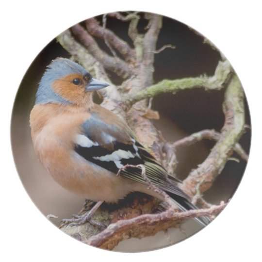 Chaffinch Wildlife bird photograph party plate