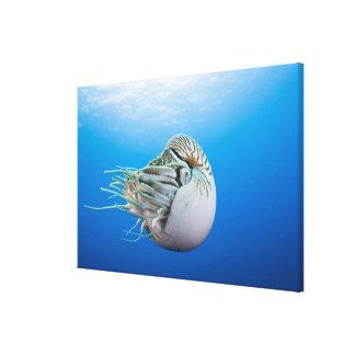 Chambered Nautilus (Nautilus pompilius), Great Bar Canvas Print