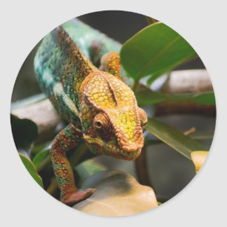 Chameleon coming forward classic round sticker