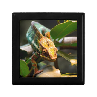 Chameleon coming forward gift box