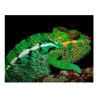 Chameleons Postcard