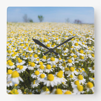 Chamomile Field, Hungary Square Wall Clock