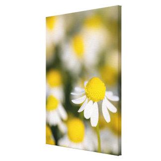 Chamomile flower close-up, Hungary Canvas Print