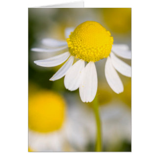 Chamomile flower close-up, Hungary Card