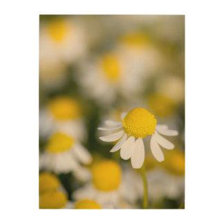Chamomile flower close-up, Hungary Wood Prints