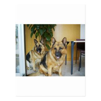 Chana & Win Tow Lovely German Shepherd Dogs Postcard
