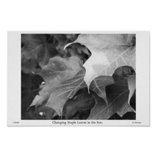 Changing Maple Leaves in the Sun in Grayscale Print