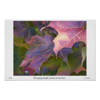 Changing Maple Leaves in the Sun Poster
