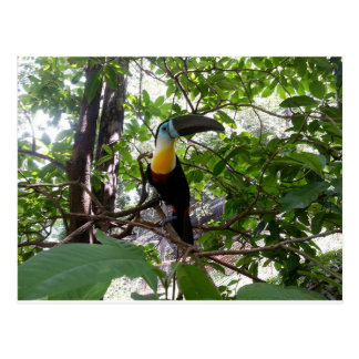 Channel-billed Toucan, Trinidad Postcard