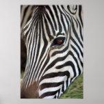 Chapman's Zebra Poster