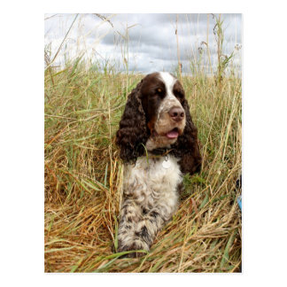 Charlie The Springer Postcard
