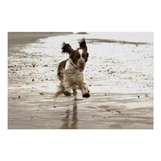 Charlie The Springer! Poster