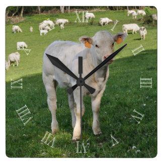 Charolais calf in a field square wall clock
