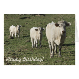 Charolais cow and calves birthday card
