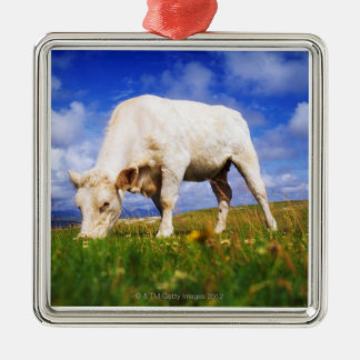 Charolais Cow Grazing, Mannin Bay, Ireland Christmas Ornament