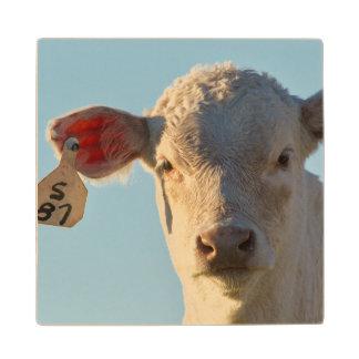 Charolaise Beef Calf Near Augusta, Montana, USA Wood Coaster