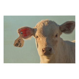 Charolaise Beef Calf Near Augusta, Montana, USA Wood Wall Art