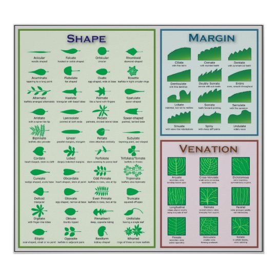 Chart of Leaf Morphology Shape Venation Margin