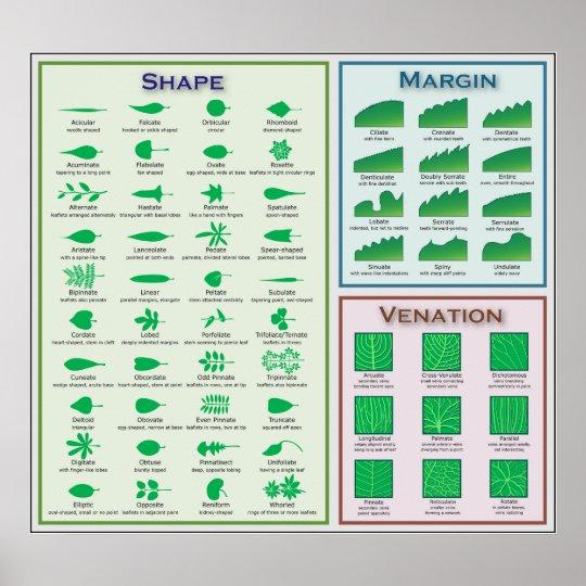 Chart of Leaf Morphology Shape Venation Margin Poster