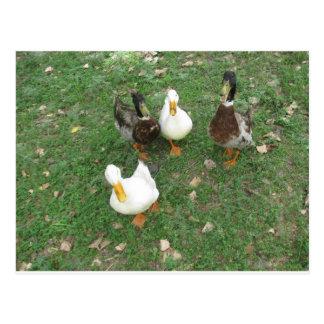 chatty ducks Postcard