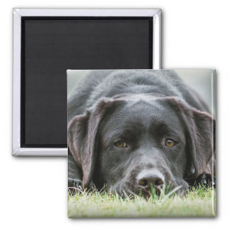 Cheeky Chocolate Labrador Magnet