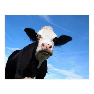 cheeky cow postcard